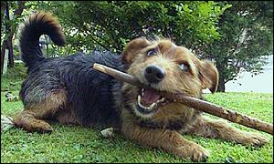 Mongrel dog with stick