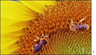 bumble bees on a sunflower