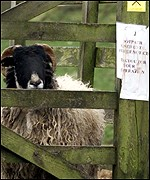 Herdwick sheep in Cumbria are threatened by the cull