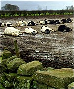 Culled cows lie unburied in a field