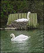 Swans near Cookham