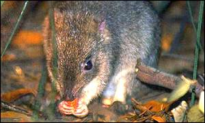 Northern Bettong