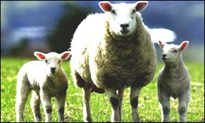 The department is investigating sheep subsidy fraud
