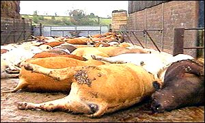 Slaughtered cows