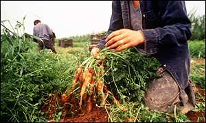organic carrots being harvested