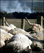 Slaughtered sheep in foot-and-mouth outbreak