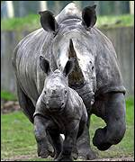 Hope, a baby white rhino, and his mum