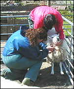 Blood-testing sheep is not always easy