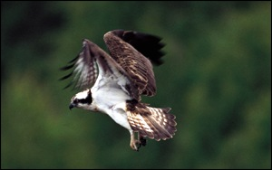 Osprey in flight RSPB Images