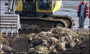 Culled sheep being buried