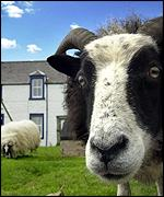 Sheep at Mossburn animal sanctuary in Scotland