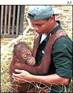 An orang-utan with a rescuer in Indonesia AP