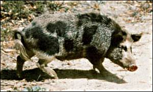 Feral pig Agriculture Western Australia