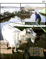 Goat rescued from floods of river Lena