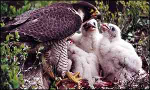 Falcon chicks (RSPB)