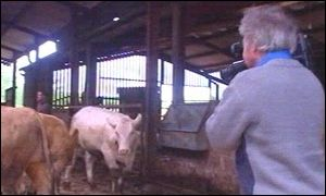 Cameraman capturing Charolais cows on film