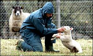 A vet checks for foot-and-mouth disease in sheep