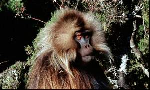 A baboon was used in the tests