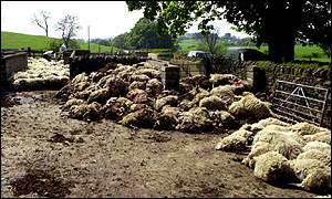 Foot-and-mouth sheep cull