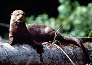 Amazon otter on log BBC