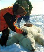 Scientists examining polar bear BBC