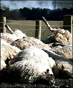 Slaughtered sheep in a field
