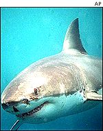 A female white pointer shark estimated to be approximately 5.5 metres in length
