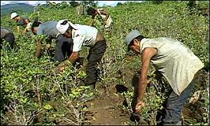 Coca pickers at work