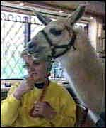 [ image: The llamas are at home in the kitchen or the pub]