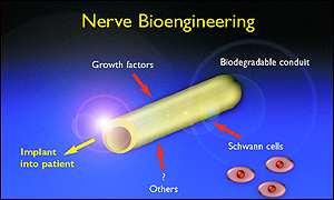 How nerve regeneration works