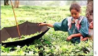 Indian tea growers face competition from all over the world
