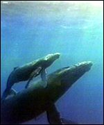 Minke whale and calf BBC