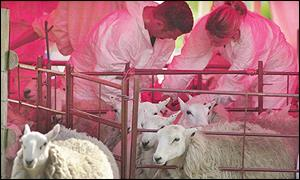 Sheep undergoing blood tests