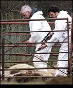 Sheep are slaughtered in Cumbria