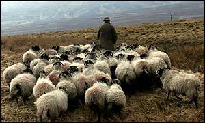 Farmer with his herd of sheep