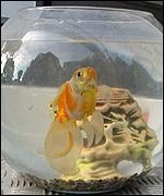 'Lucky' the goldfish