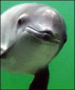 Harbour porpoise under water WWF Germany