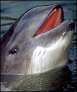Harbour porpoise at surface WWF Germany