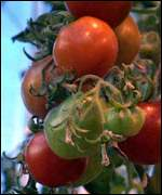 GM tomatoes on plant BBC