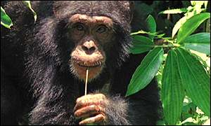 Chimp, west Africa