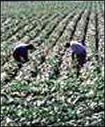 Workers in GM crop field Greenpeace