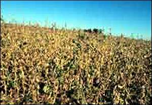 Field of GM soya Greenpeace