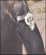 Nils Olav with his badge of honour