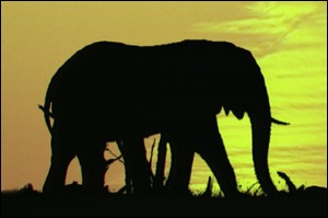 African elephant at sunset BBC
