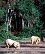 African elephants in forest BBC