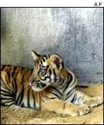 Tiger cub in zoo AP