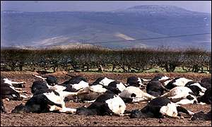 Slaughtered cattle lie in a field