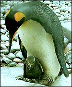 Penguin and chick, PA