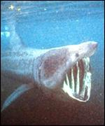 The basking shark, an endangered species