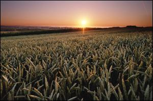 Grainfield at sunrise Monsanto